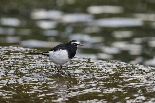 水辺にいるセグロセキレイ_2の写真