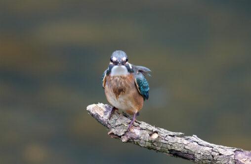 正面を向いているカワセミの幼鳥の写真
