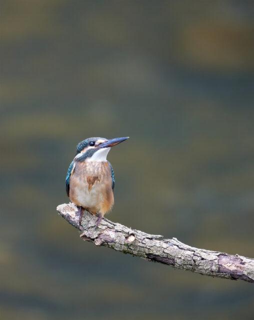 上を向いているカワセミの幼鳥の写真