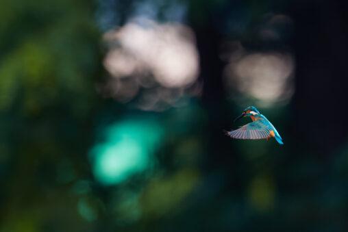 カワセミのホバリング_10の写真
