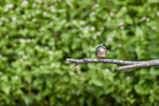カワセミの幼鳥とグリーン背景_2の写真