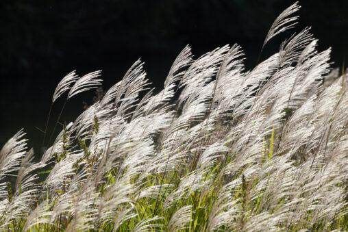 初秋のススキの穂/芒の穂の写真
