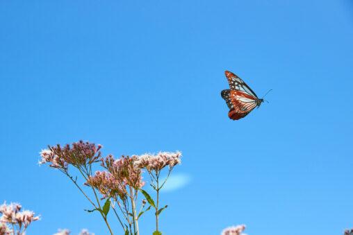 青空とアサギマダラの飛翔の写真