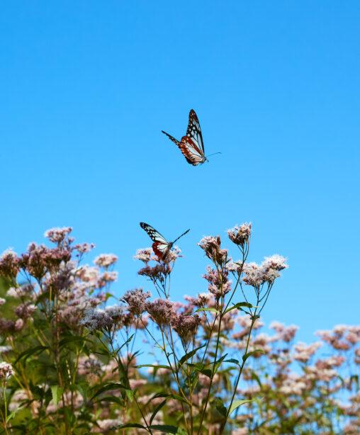アサギマダラ/二羽/飛翔/フジバカマの写真