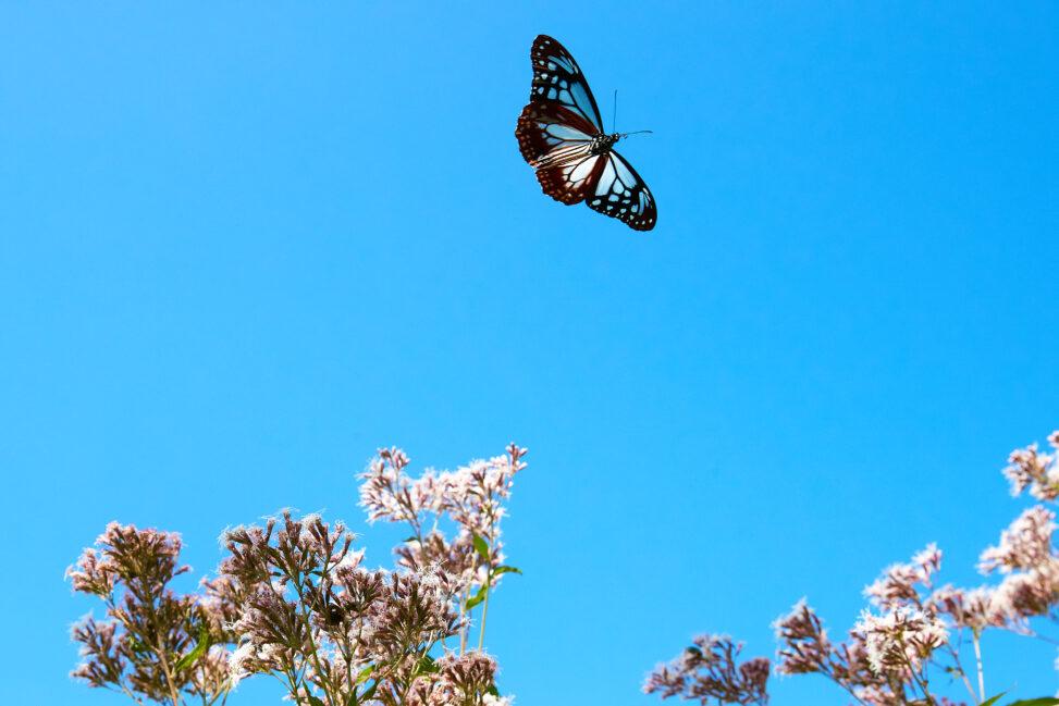 青空とアサギマダラの飛翔_2の写真