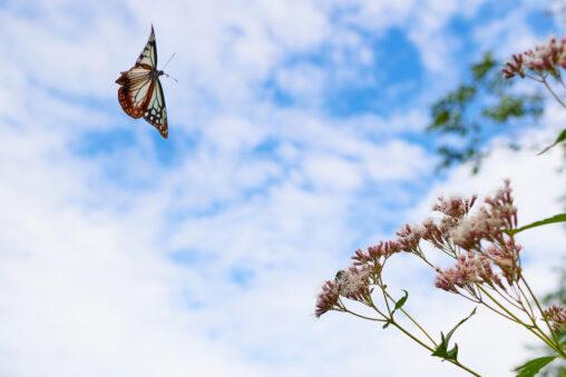空を飛ぶアサギマダラの写真