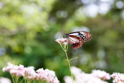 フジバカマの蜜を吸うアサギマダラ_2の写真
