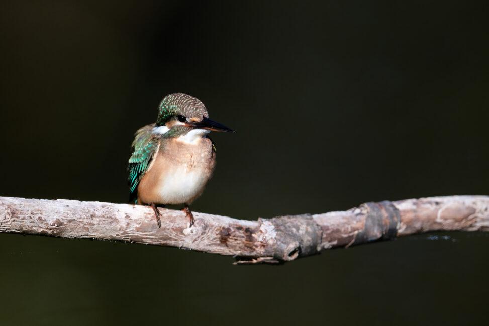 カワセミの幼鳥のアップ_2の写真
