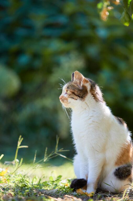 三毛猫/座り姿/横顔の写真
