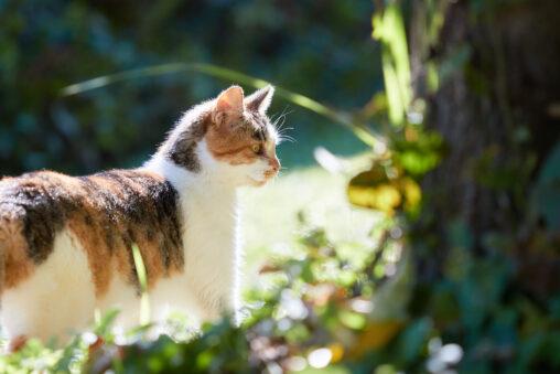 散策する三毛猫の写真