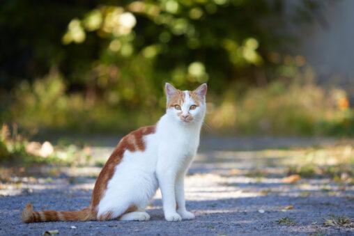 茶と白の猫/座り姿の写真