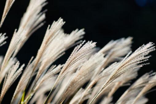 風になびくススキ/芒の写真