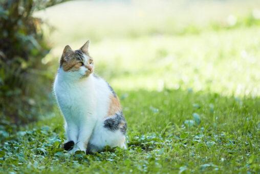 お座りしているかわいい三毛猫の写真