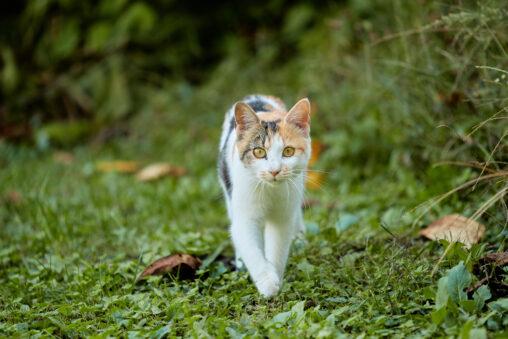 歩いてくるかわいい三毛猫の写真