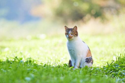 お座りしているかわいい三毛猫_2の写真