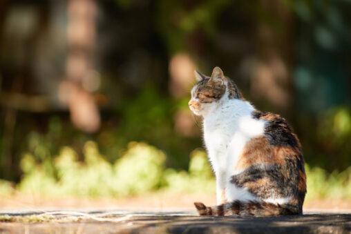 三毛猫/座り姿/横顔_2の写真
