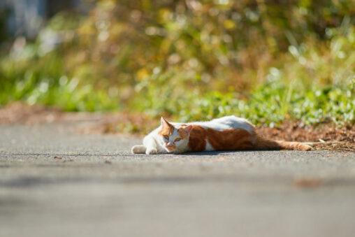 道に寝転がっている猫の写真