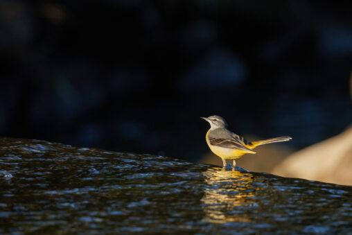 キセキレイ/水辺/朝日の写真