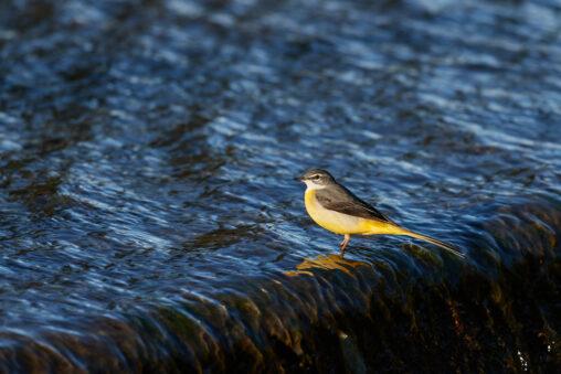 水辺のキセキレイの写真